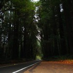 Avenue of Giants - Redwoods